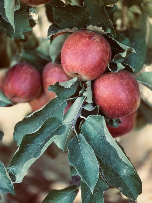 Apfelwein selber machen