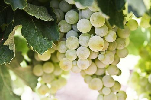 Wein selber machen