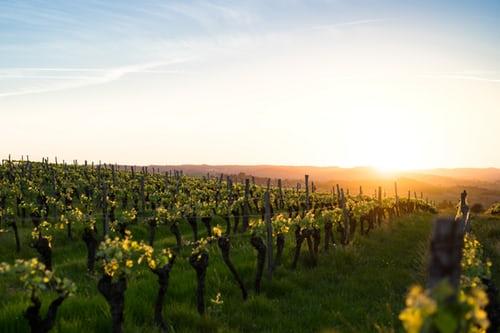 Wein selber anbauen